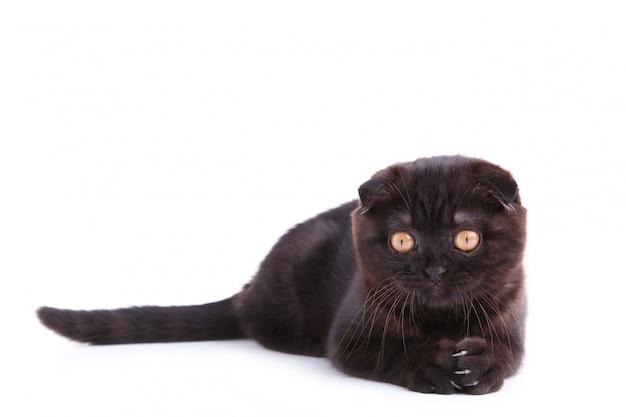 Shorthair britannico del gatto nero con gli occhi gialli su un bianco