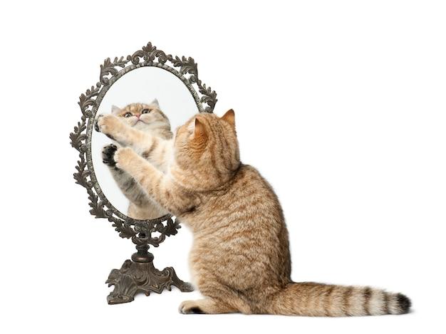 Shorthair britannico ombreggiato dorato, 7 mesi, giocando con lo specchio