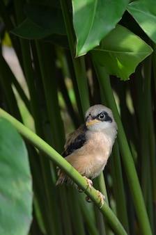 Shrike marrone uccello all'interno del cespuglio, canto degli uccelli, lanius cristatus