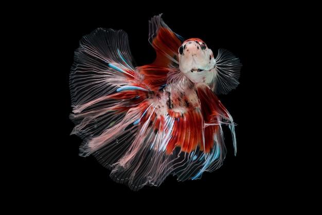 Siam betta fish
