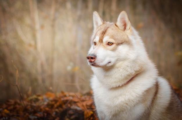 Siberian husky rosso nella foresta di autunno. il cane è seduto sulle foglie secche.