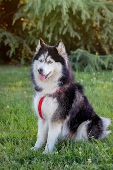 Siberian husky sull'erba