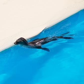 Sigilli nuotare in acqua salata blu