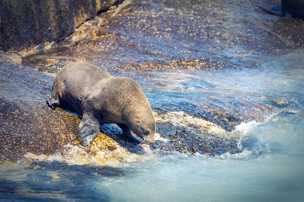 Sigilli su un'isola di foca della baia di hout a cape town, sudafrica