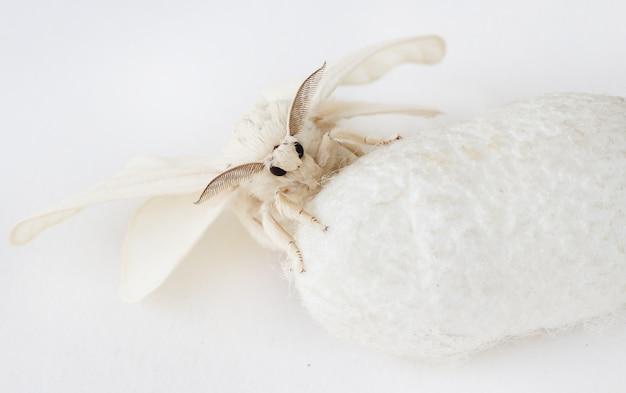 Silk moth su silk cocoon