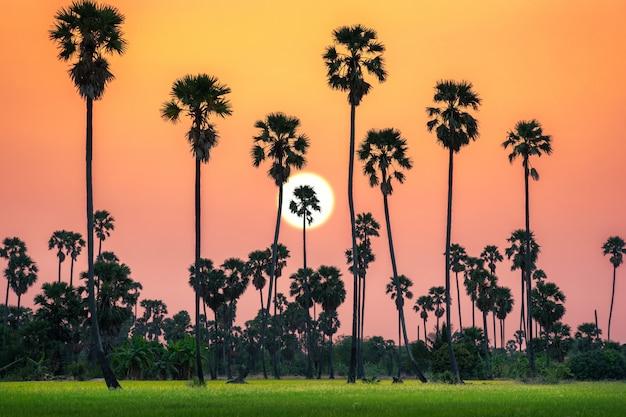 Siluetta degli alberi della palma da zucchero e giacimento del riso sul tempo crepuscolare del bello cielo.