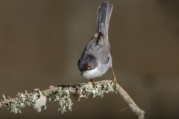 Silvia melanocephala silvia maschio adulto