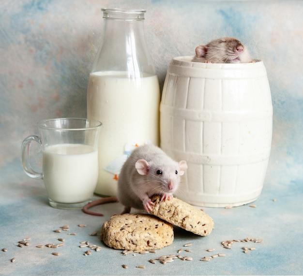 Simpatici ratti grigi, topi in composizione con latte e biscotti,