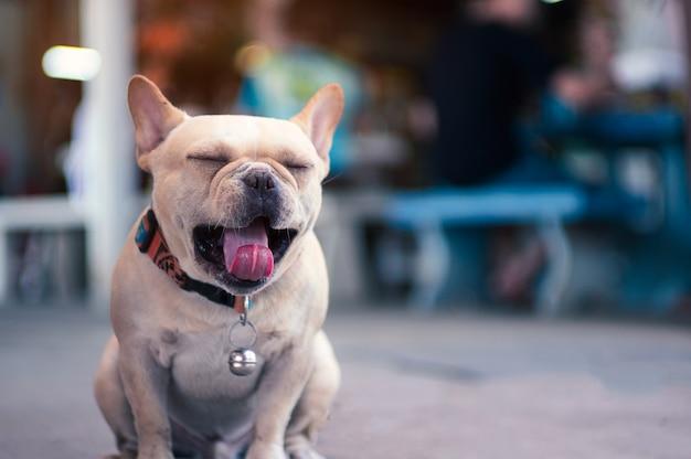 Simpatico bulldog assonnato che apre la bocca e la lingua lunga