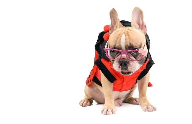 Simpatico bulldog francese indossa occhiali fantasia e si siede isolato sul concetto bianco, animale domestico e animale