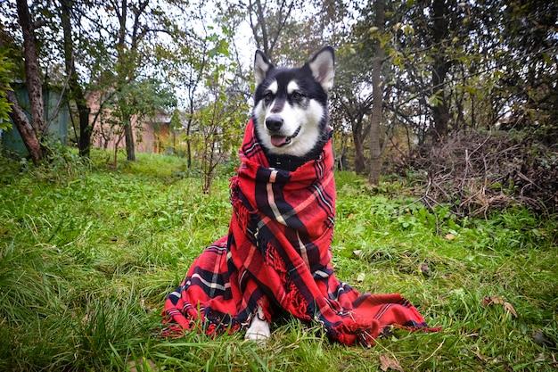 Simpatico cane avvolto in plaid