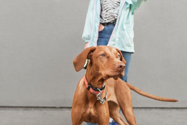 Simpatico cane di razza magyar vizsla sull'uomo e muro grigio.