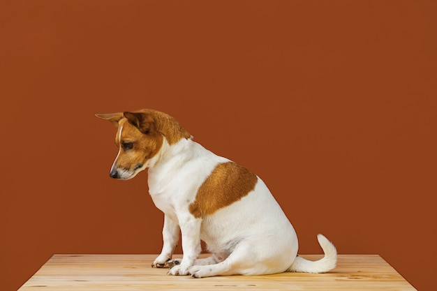 Simpatico cane jack russel terrier