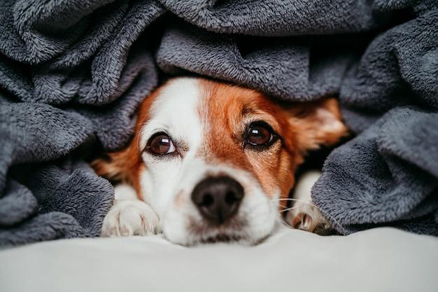 Simpatico cane jack russell piccolo seduto sul letto, coperto con una coperta grigia