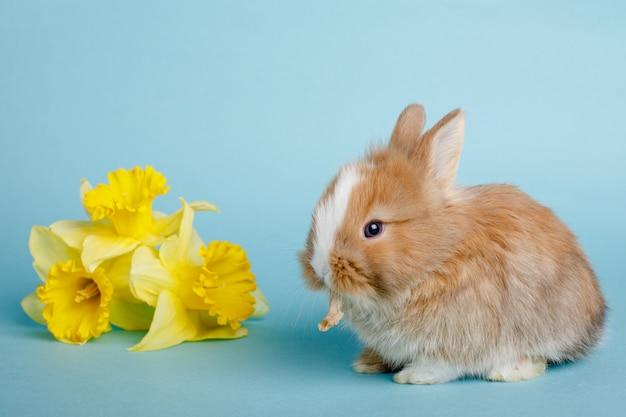 Simpatico coniglietto di pasqua con fiori di primavera gialli su uno spazio blu