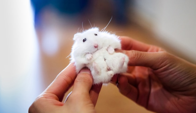 Simpatico criceto bianco riceve massaggio dal proprietario