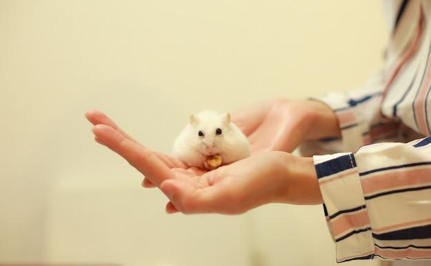 Simpatico criceto nano invernale bianco che mangia noce sulle mani del proprietario