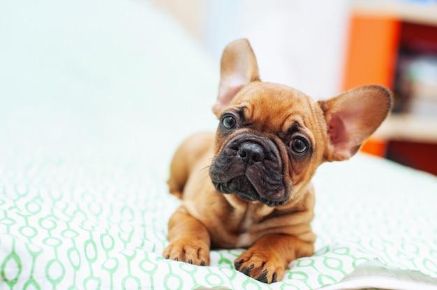 Simpatico cucciolo di bulldog francese