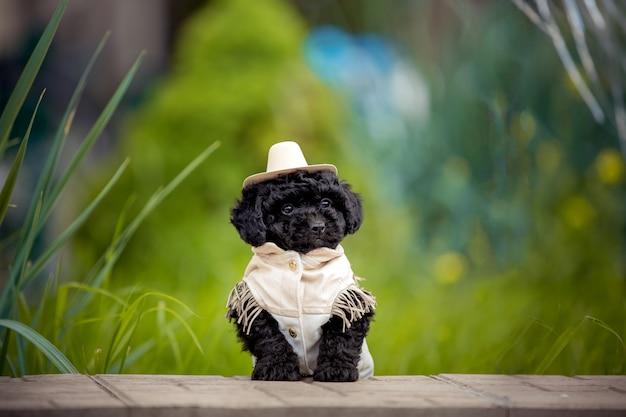 Simpatico cucciolo di maltipu di razza designer in costume da cowboy.