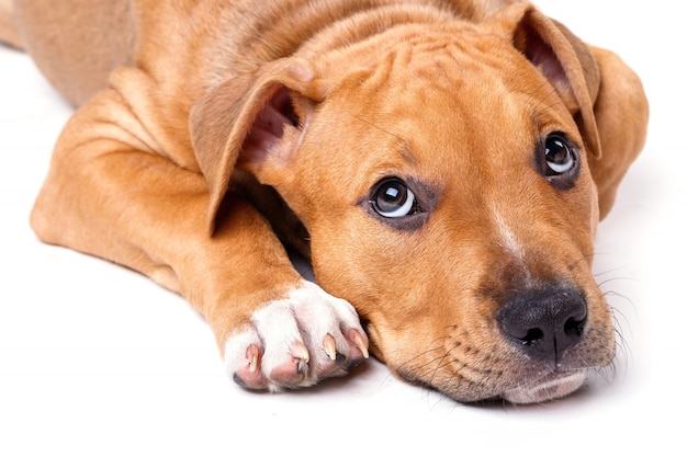 Simpatico cucciolo di staffordshire terrier