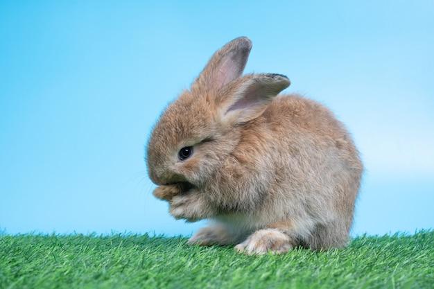 Simpatico e peloso simpatico coniglio nero è in piedi su due zampe sull'erba verde e pulisce le zampe anteriori. concetto dell'animale domestico e della pasqua del roditore.