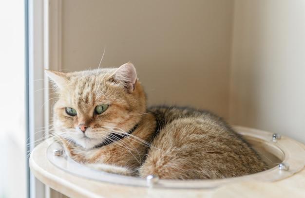 Simpatico gatto dritto scozzese marrone dorme in casa,