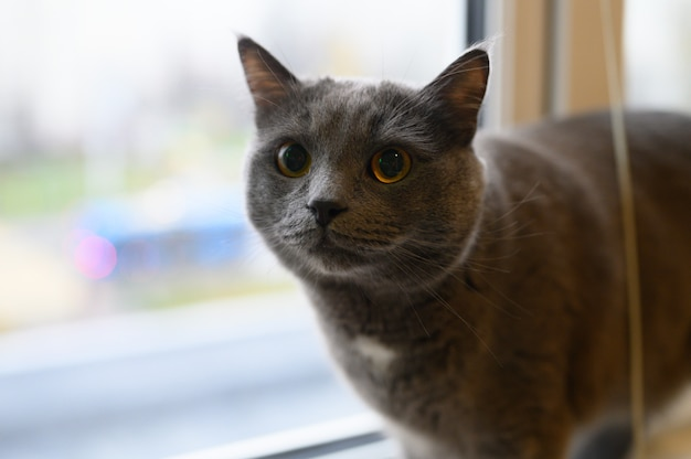 Simpatico gatto nero soffice fumoso che riposa a casa sul davanzale della finestra