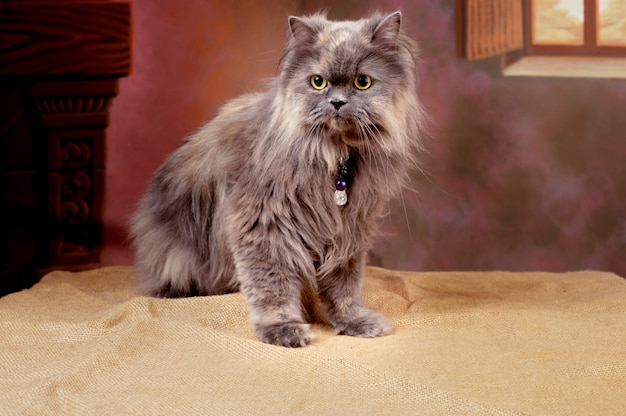 Simpatico gatto persiano birichino