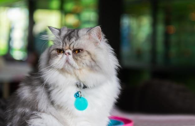 Simpatico gatto persiano seduto su una sedia,