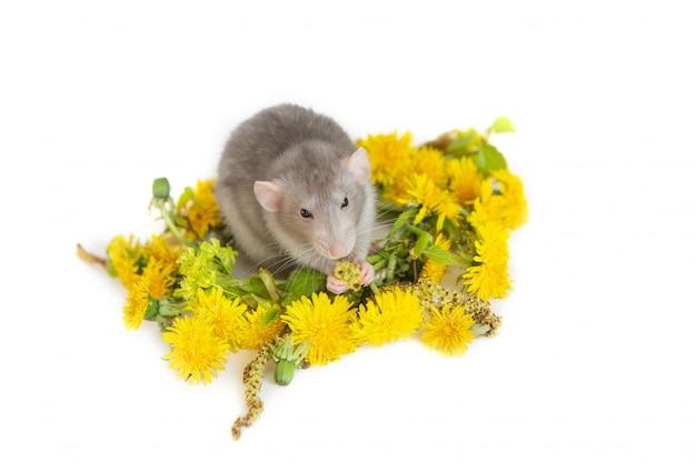 Simpatico ratto all'interno di una corona di tarassaco. animali domestici, roditori.