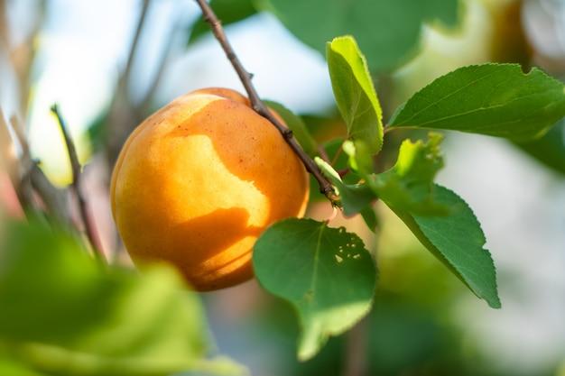 Singola albicocca gialla su un ramo di un albero da frutto in estate