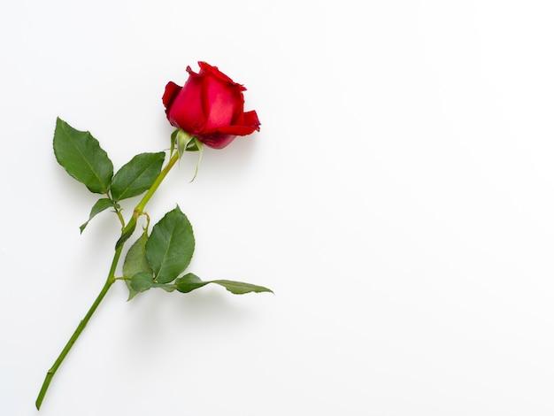 Singola bella rosa rossa su bianco