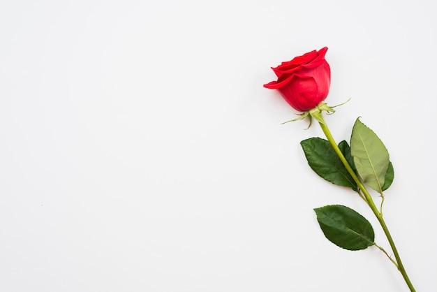 Singola bellissima rosa rossa