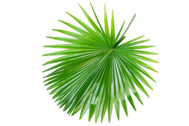 Singola fine verde della foglia di palma in su isolata su bianco