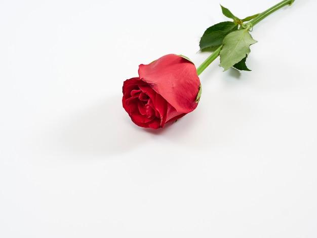 Singola rosa rossa su fondo bianco