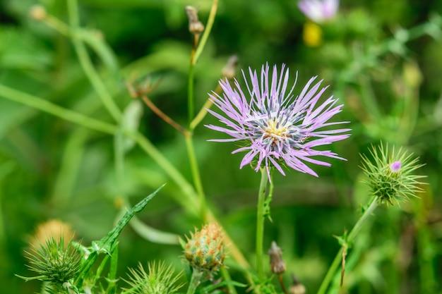 Singolo cardo selvatico del fiore spinoso, simbolo della scozia sul primo piano verde naturale del fondo.