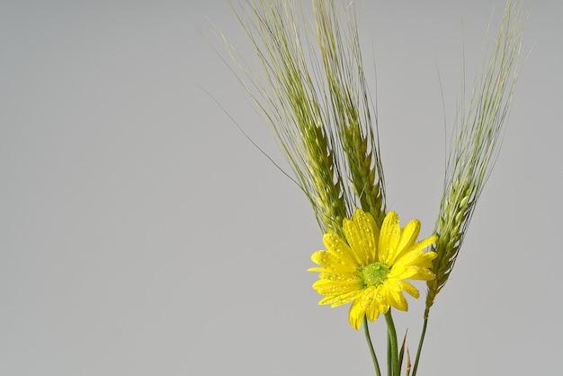 Singolo crisantemo giallo fresco con grano verde, colpo del primo piano, fiori gialli delle margherite isolati su gray.