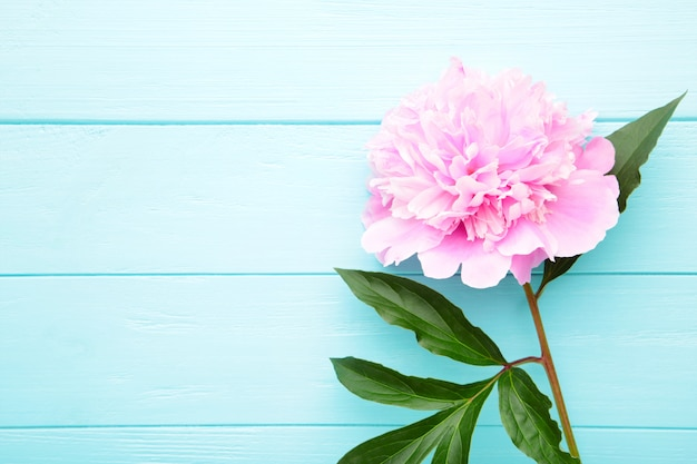 Singolo fiore rosa della peonia su fondo di legno blu.