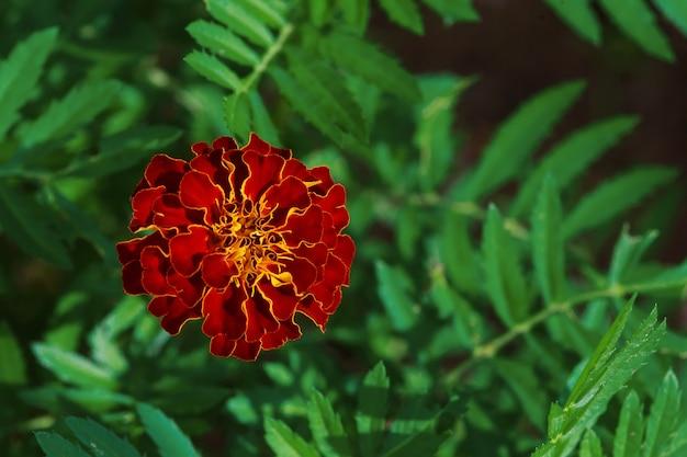 Singolo grande fiore del tagete in giardino, vista superiore