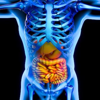Sistema digestivo illustrativo