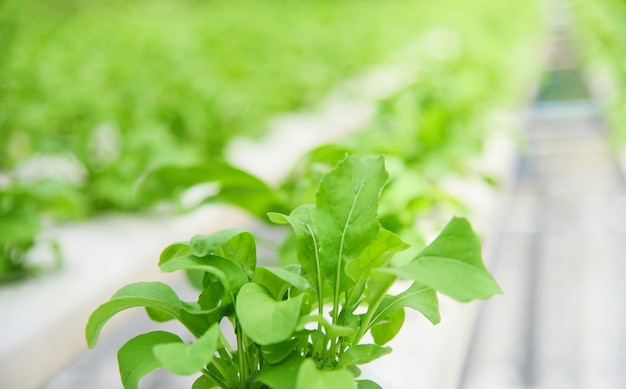 Sistema idroponico vegetale giovane e fresca lattuga verde che coltiva le piante del giardino sull'acqua senza agricoltura del suolo nella serra organica