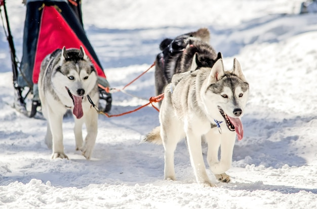 Slitta trainata da cani. squadra di cani da slitta siberian husky a stretto contatto.