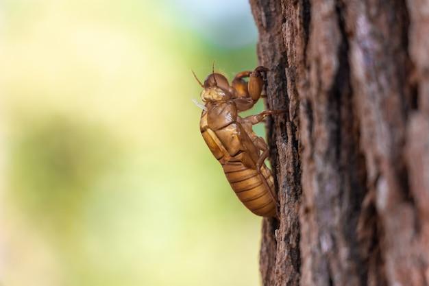 Slough di cicala insetto su albero di pino