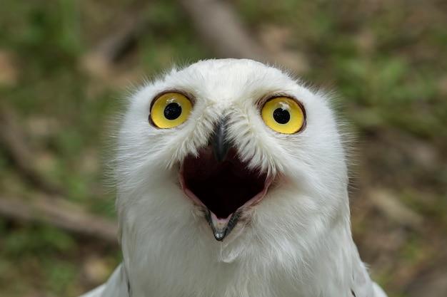 Snowy owl nella natura