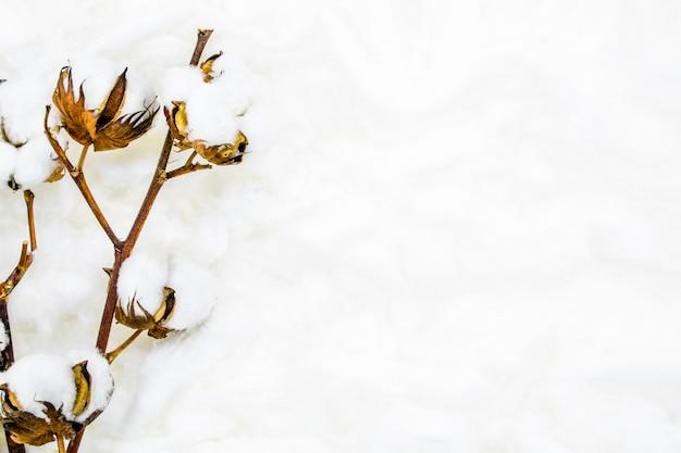 Soffice fiore di cotone bianco. disteso.