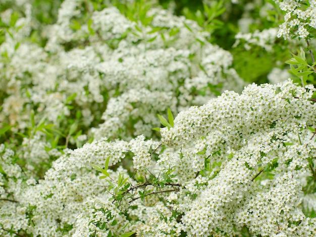 Soft focalizzato vicino immagine di white spirea