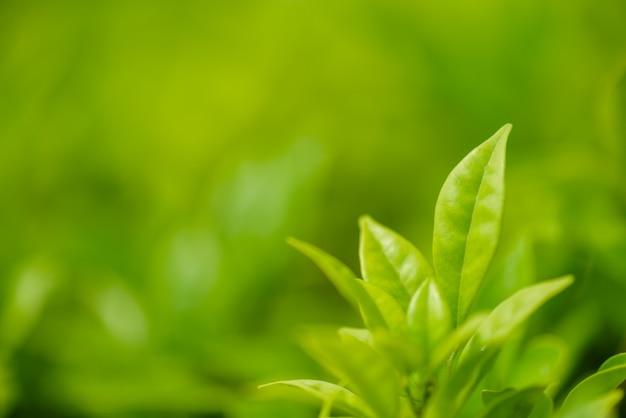 Soft focus verde lasciare al sole e sfondo verde.