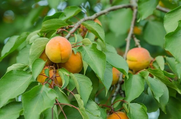 Sole sui rami dell'albero di albicocca biologico