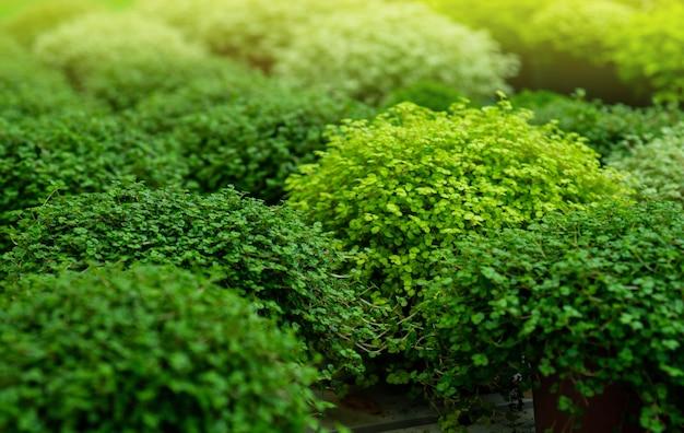 Soleyroliya: una bella pianta erbacea perenne con piccole foglie su lunghi germogli. soleirolia soleirolii piante verdi in vaso di fiori in vendita in negozio. giardinaggio in serra. giardino botanico