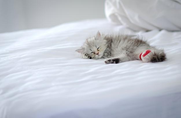 Sonno gatto persiano cincillà sul letto bianco, gatto malato.
